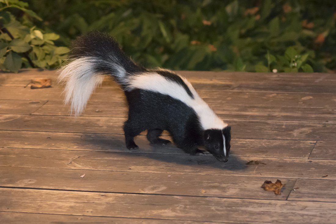 skunk and wildlife removal from A-1 Able Pest Doctors