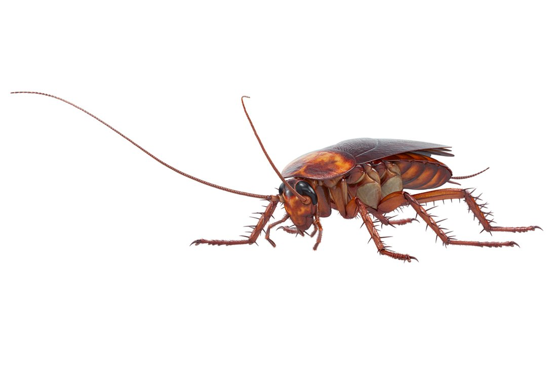 large roach removal