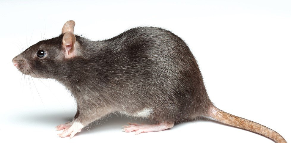 the Norway rat is part of our rodent prevention services